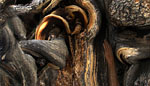 Bristelcone Pine