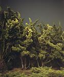 Cypress Trees, Marina Del Rey, CA (2003)