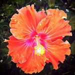 Orange Hibiscus, Santa Monica