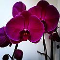 Magenta Orchids